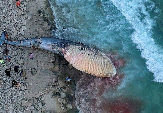 چه عاملی باعث مرگ نهنگ در کرانه های کیش شد؟  |  آخرین خبرها