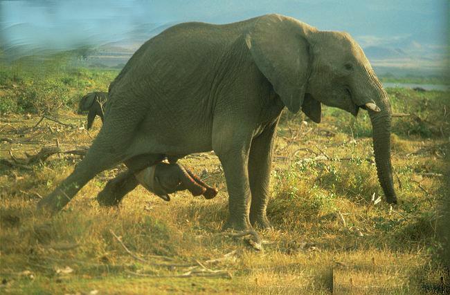 ویدئویی بی نظیر از تولد یک فیل  آخرین خبرها